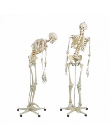 Squelettes humains flexible