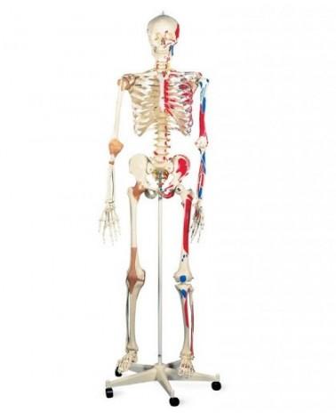 Squelettes humains premium