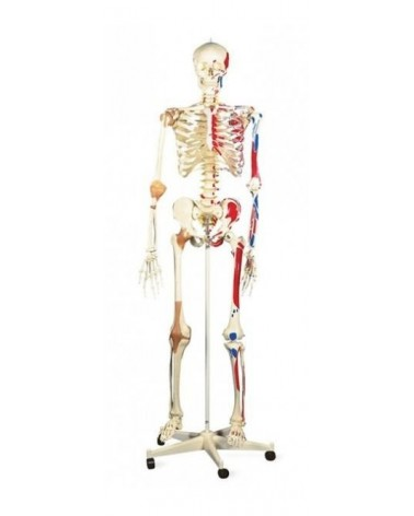 Squelette humain avec les insertions