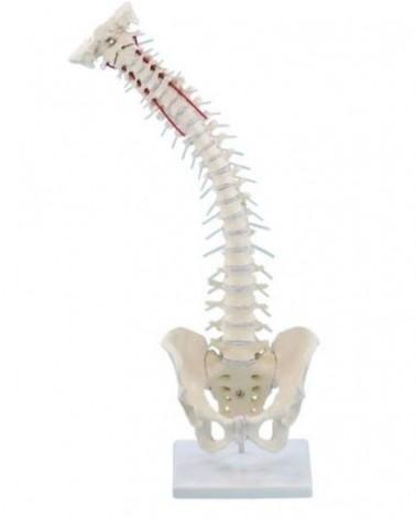 Colonne vertébrale flexible